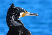 Veliki vranac,  Phalacrocorax carbo
