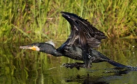 Veliki vranac (Phalacrocorax carbo)