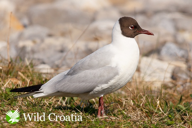 Riječni galeb / Larus ridibundus / Black-headed Gull