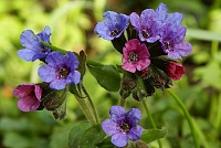 Plučnjak Pulmonaria officinalis L.