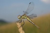 Strijelac, Sympetrum sp.