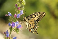 Lastin rep, Papilio machaon